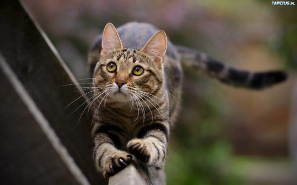 Źródło: pl.kochamy-kotki.wikia.com; Zwykła opowieść o zwyczajnym kocie